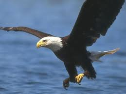 A nesting pair of Decorah Eagles from Decorah, Iowa, are being filmed on webcam 24/7 by the Raptor Resource Project.